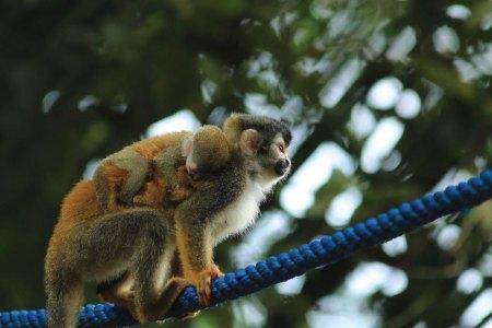 Titi monkeys crossing bridge