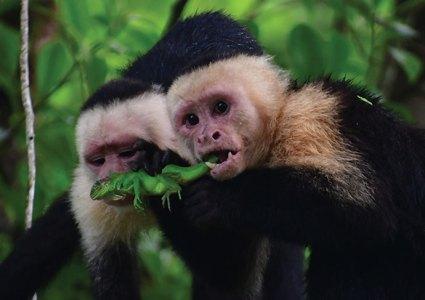 Two monkeys eating a lizard