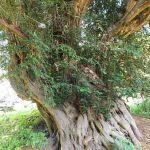 Churchyard yew