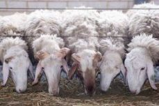 ovejas raza asaf