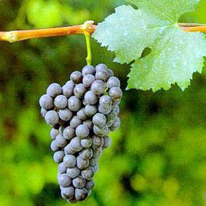 nebbiolo-uva