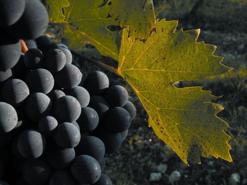 sangiovese-grosso