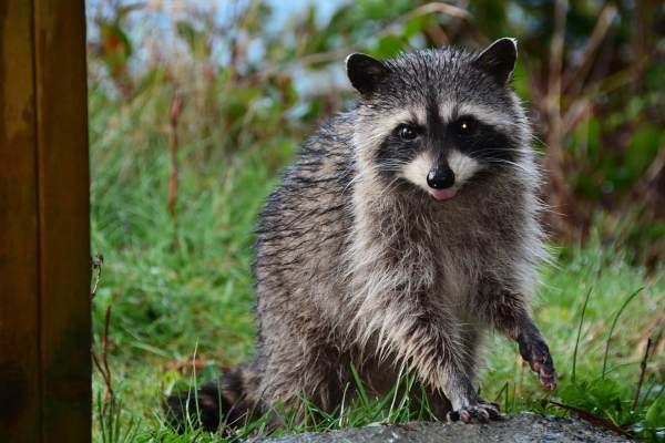 Raccoon Removal - Quest Pest Control Suffolk County