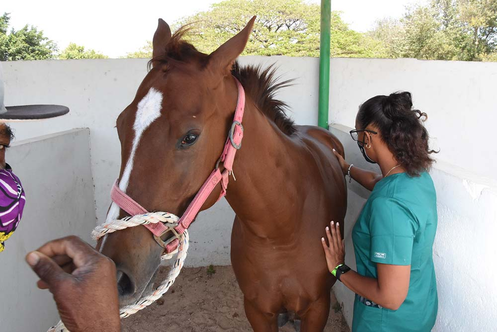 Dr Simone Johnally preparing a horse for Lasix.