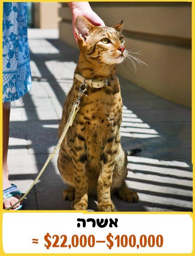 מעולה  ממלכת החתולים - רוצים לדעת כמה עולה החתול של השכן שלכם? (או של סתם LE-89