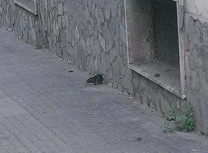 """Cosenza, i topi in città hanno i giorni contati"""". In arrivo la derattizzazione"""