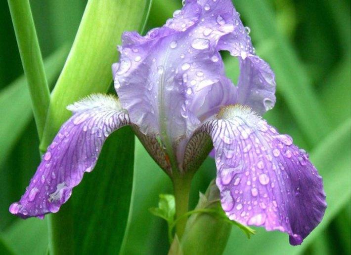 Bearded-Iris-3w