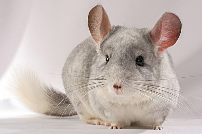 All You Need to Know About Chinchillas