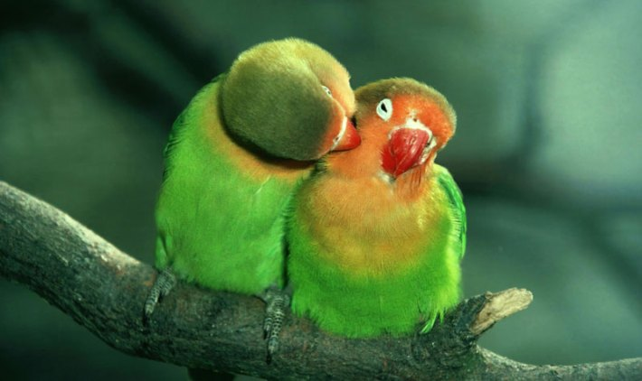 All-You-Need-to-Know-About-Lovebirds-1