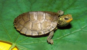 Aquatic Turtles Care