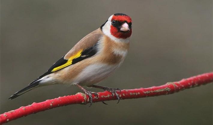 European-Goldfinch-Profile-1