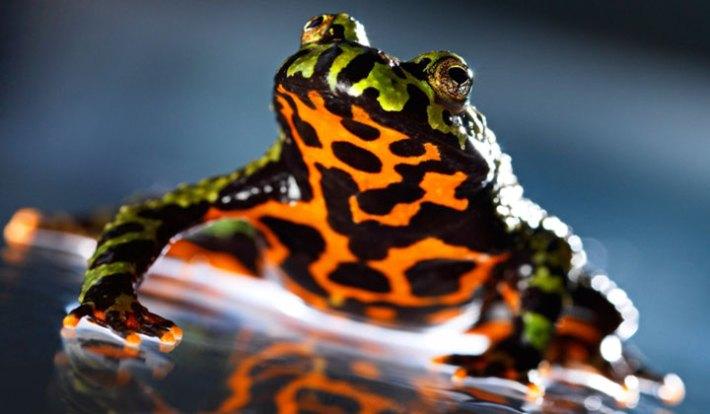 Fire-Bellied Toads : Meet the Frogs