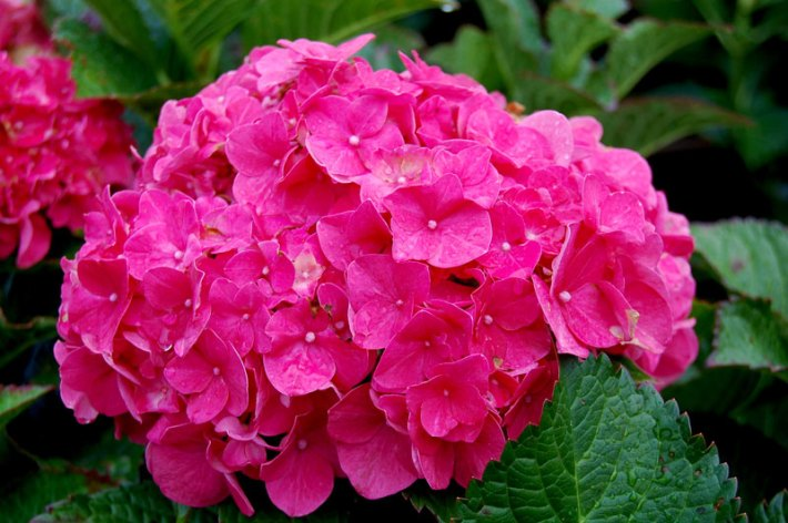 Hydrangea arborescens 'Incrediball' - forever pink