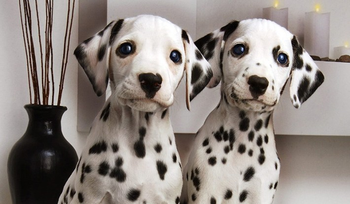 Is-A-Dalmatian-Right-Dog-For-You-3