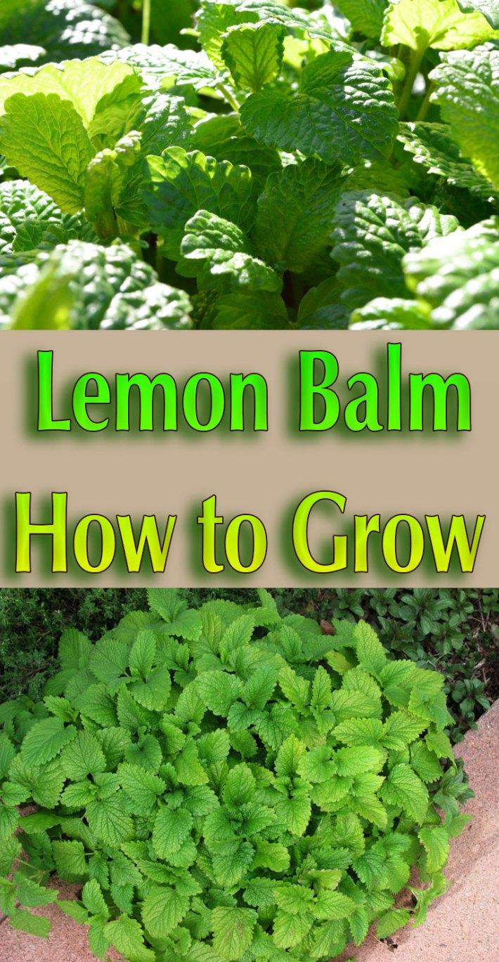Lemon Balm – How to Grow