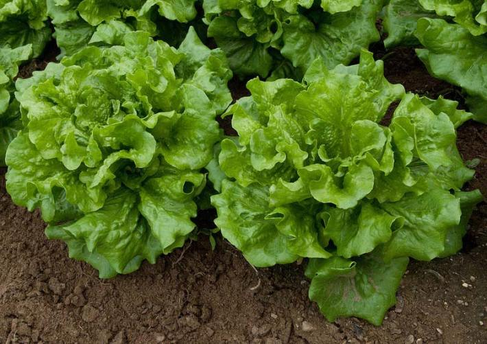 how to wash lettuce and keep it crisp