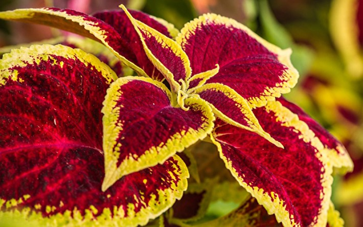 Spice-Up-Your-Garden---Coleus-hybrid