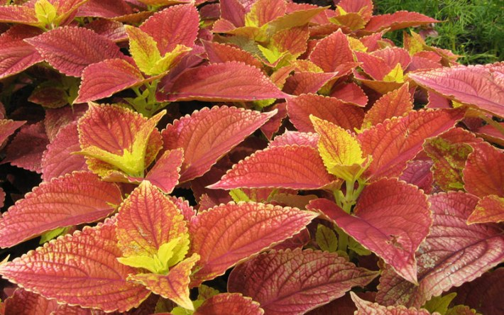 Spice-Up-Your-Garden---Fire-Dragon-coleus