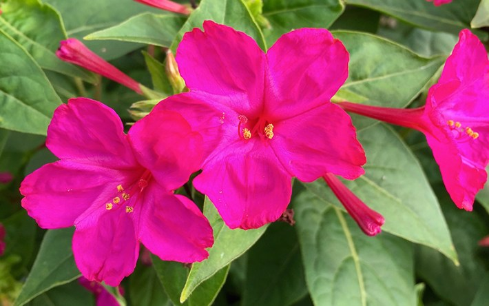 Spice-Up-Your-Garden---pink-four-o-cloks