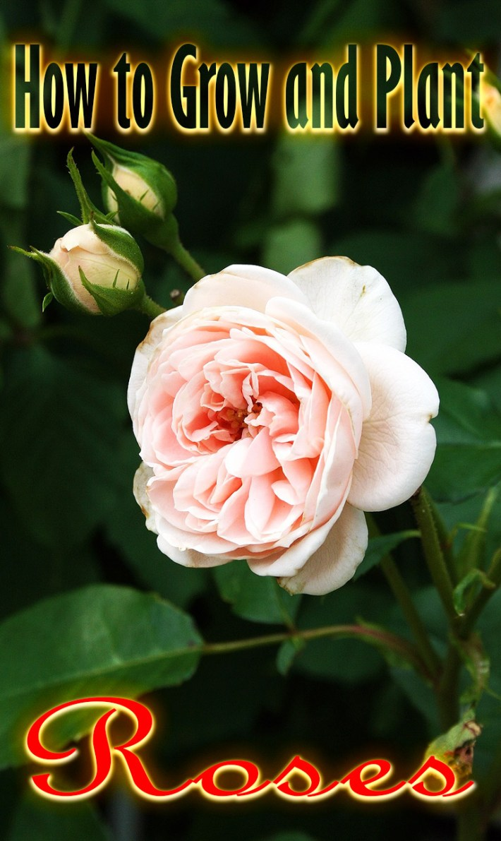 Flower Gardening – How to Grow and Plant Roses