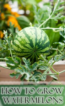 How to Grow Watermelons