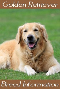 Golden Retriever - Breed Information