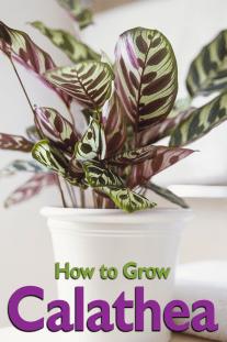 Calathea – How to Grow
