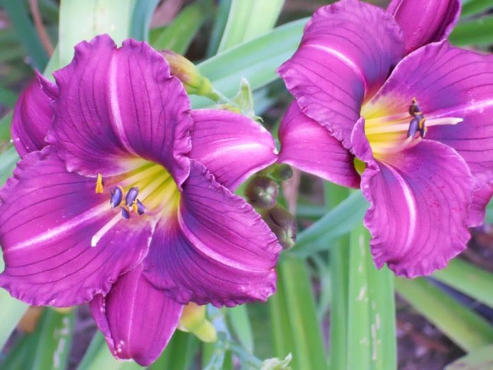 Daylily - How to Grow