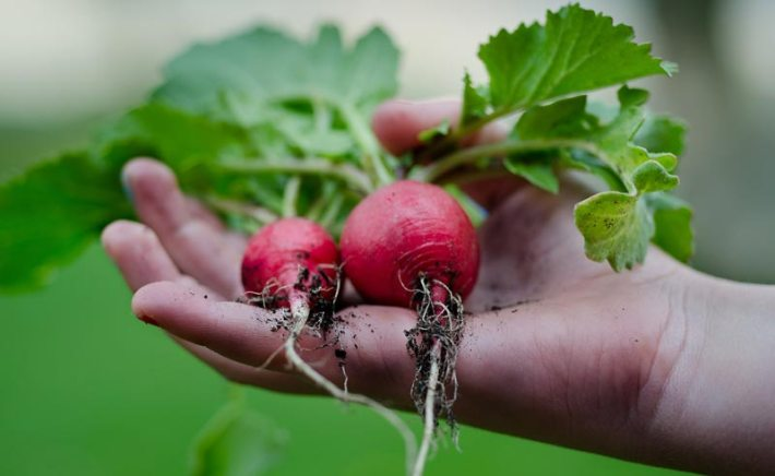 How To Grow Radish