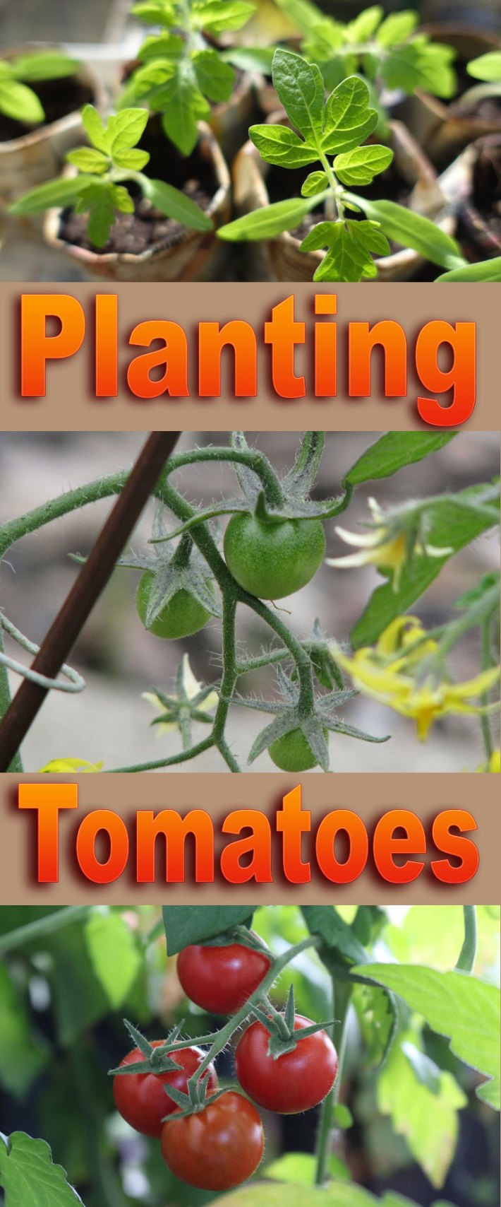 How to: Planting Tomatoes