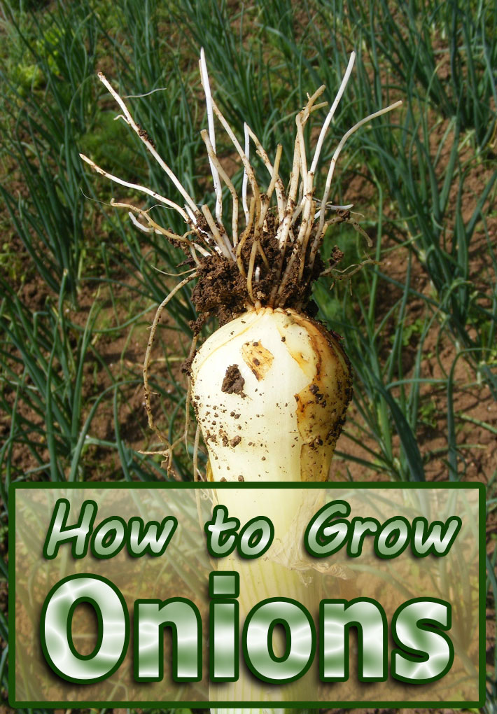 Onions – How to Grow