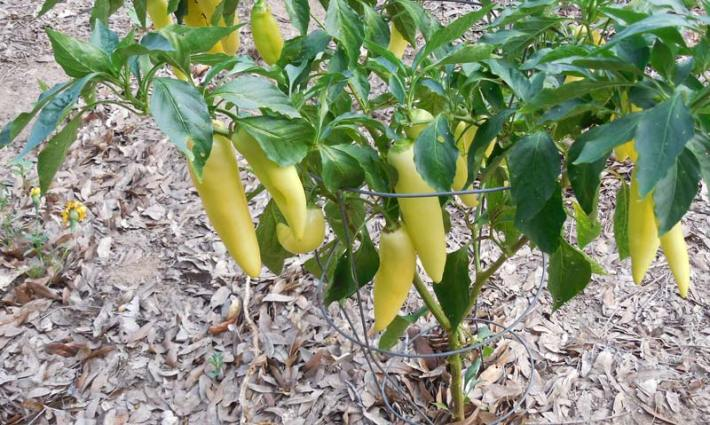 Pepper Growing Tips