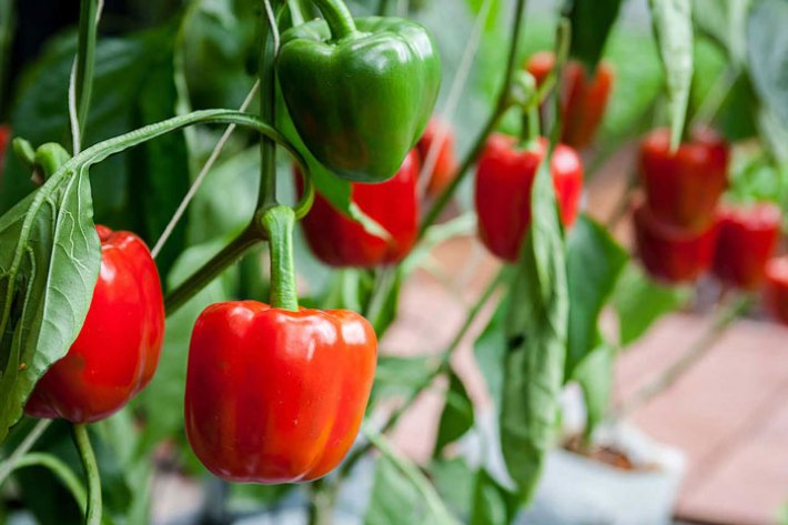 Peppers Growing Tips