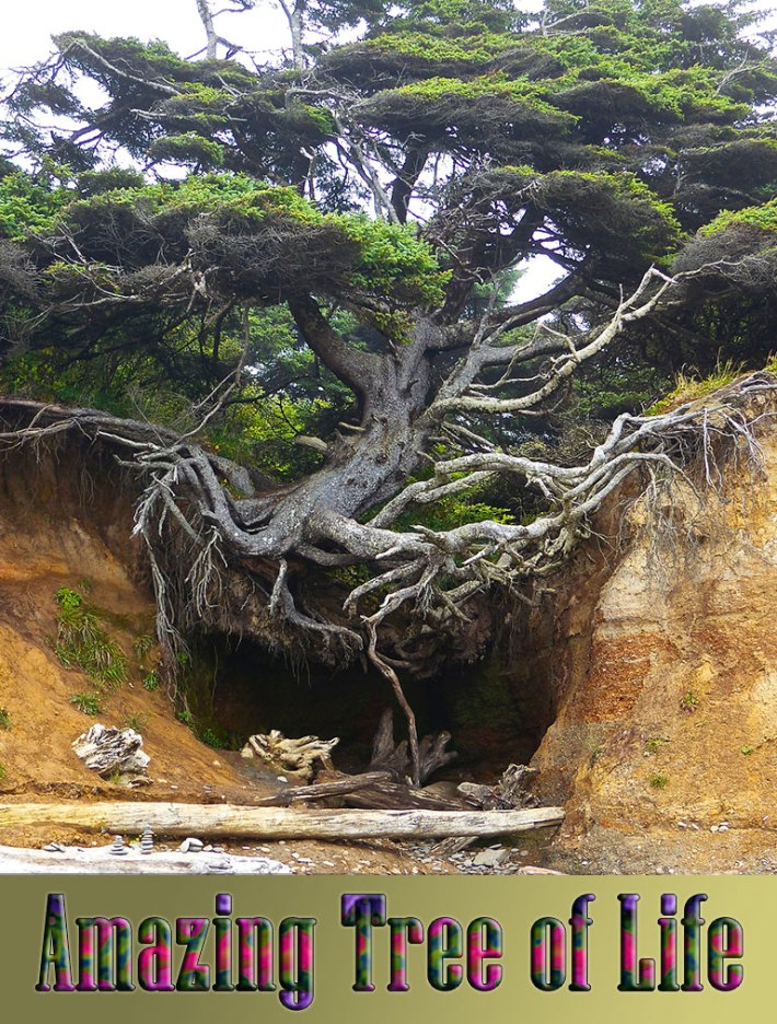 Iconic 'Tree of Life' in Kalaloch Is a Monument to Resilience