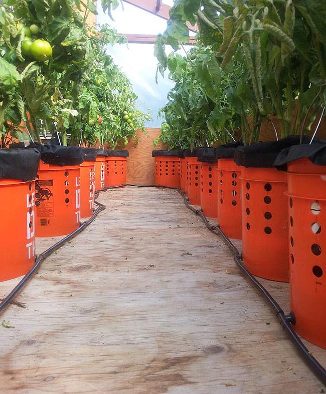 Quiet Corner Container Gardening Ideas: Self Watering Tomato Buckets