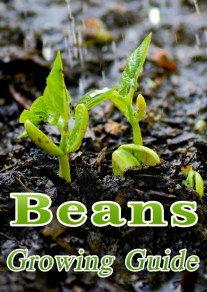 Beans - Growing Guide