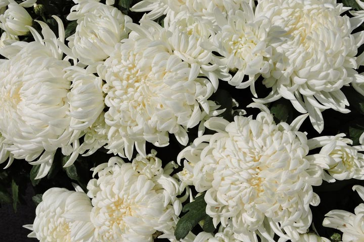 Chrysanthemums in Your Garden - Quiet Corner