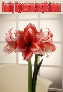 Growing Hippeastrum Amaryllis Indoors