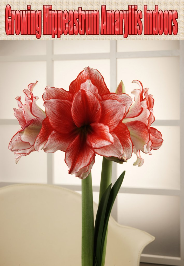 Growing Hippeastrum Amaryllis Indoors