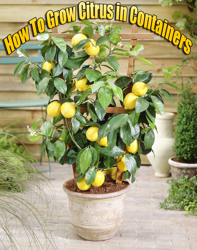 How To Grow Citrus in Containers - Quiet Corner