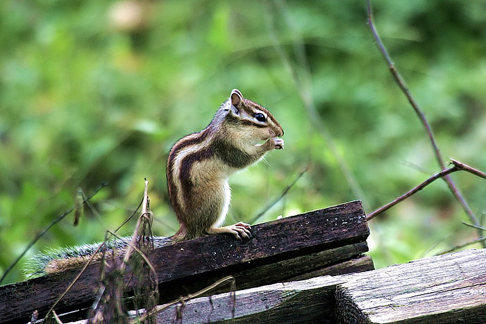 Asian Chipmunk Care Info - Asian - Hot Pics-4901
