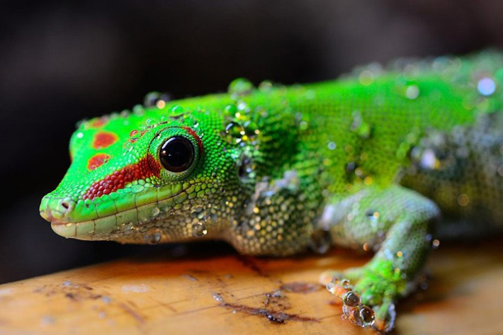Geckos as Pets – Colorful Reptiles