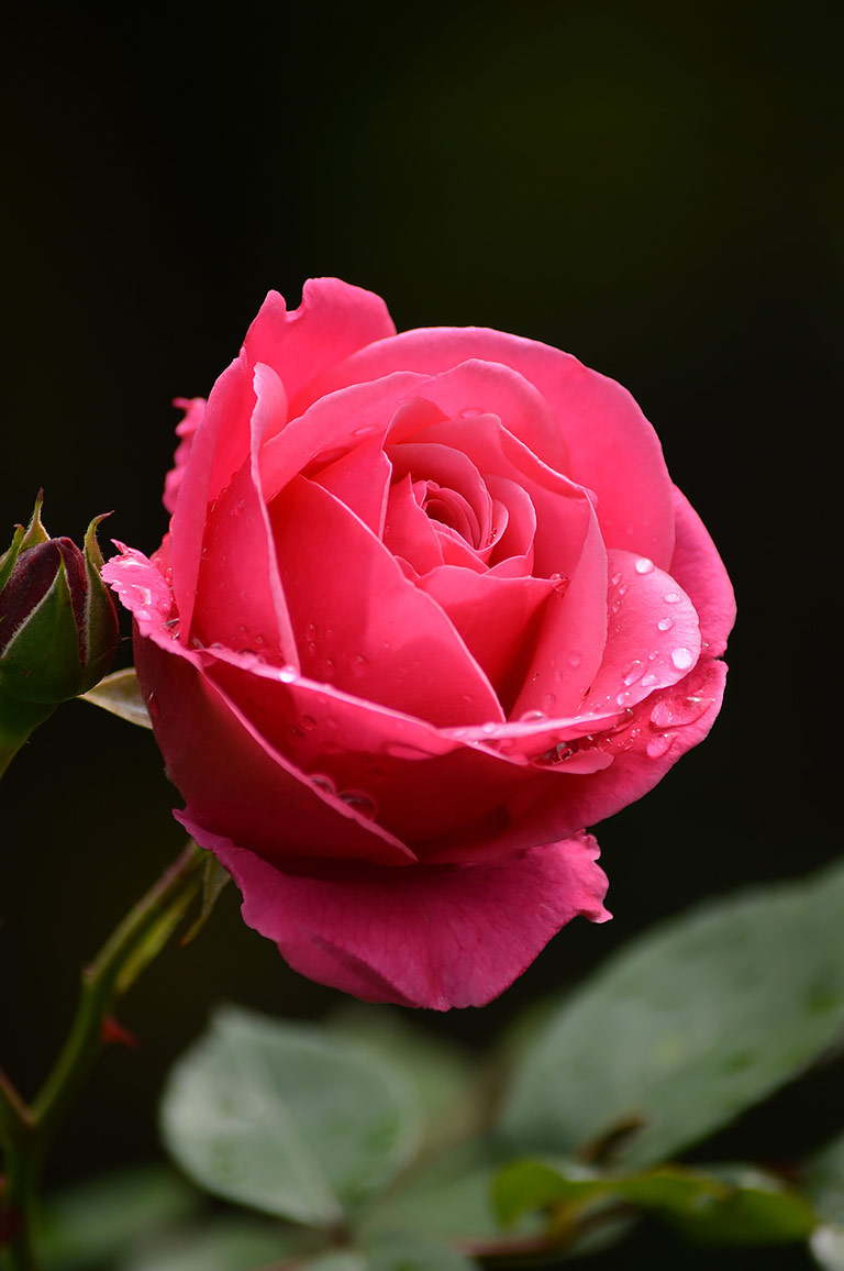 Which Types of Roses Are Right for Your Garden? - Quiet Corner