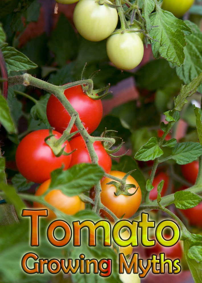Top 10 Tomato Growing Myths - Quiet Corner