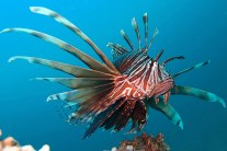 Lionfish invading, colonizing Mediterranean Sea