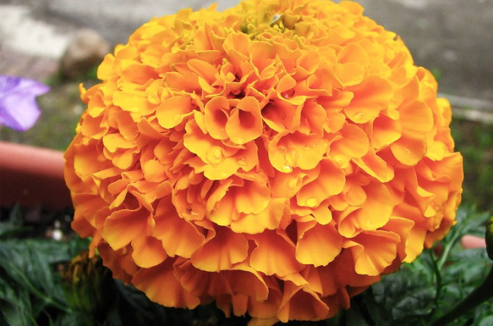 All You Need To Know About Marigolds