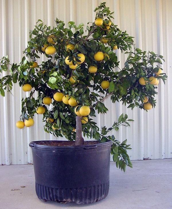 Quiet Corner Container Gardening Ideas: Quiet Corner:Tips For How To Grow Grapefruit
