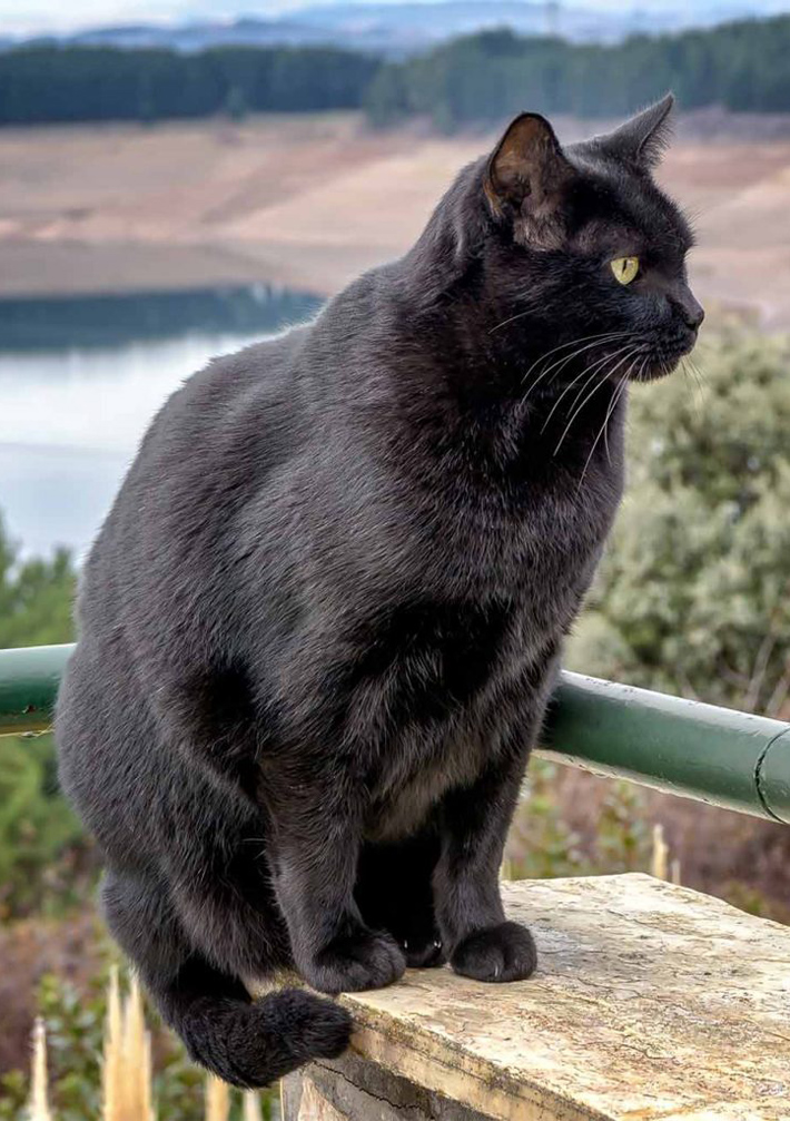 Breed Info and Facts - Bombay Cat - Quiet Corner