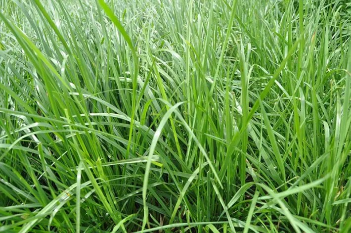 Fine Fescue Grass for Lawns