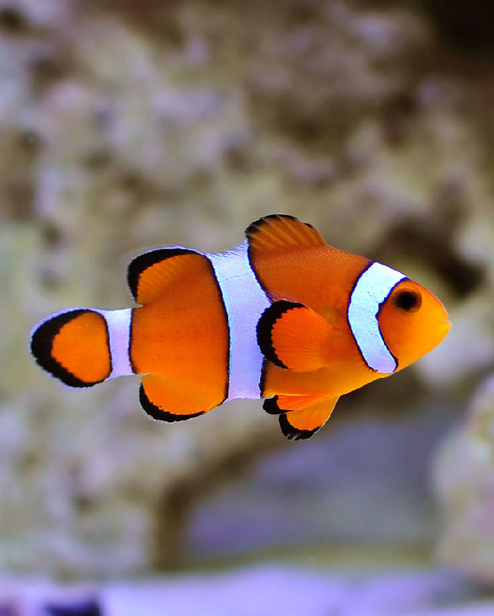 Quiet Corner Ocellaris Clownfish Info Care